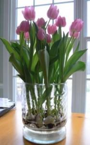Aprender cómo cultivar bulbos de tulipán en el agua
