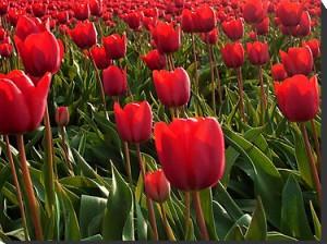 Quais são os significados das tulipas vermelhas?