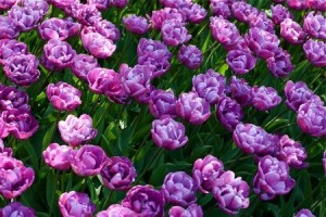 Learn to take care of tulip bulbs after blooming