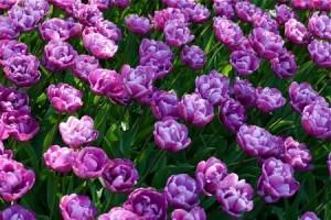 Aprenda a cuidar de los bulbos de tulipán después de la floración