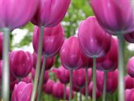Over Purple Tulips